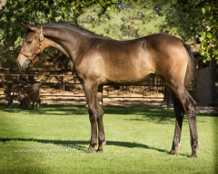 CCF Galactica II, 2014 filly by Clintord I ex Nouska