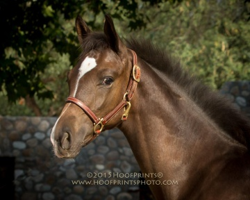 CCF Clear Sailing, 2015 gelding by Clintord I x Nouska