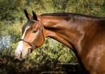 CCF Coral Sea, 2013 gelding by Clintord I ex Nouska